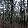 Beech forest on Government Track