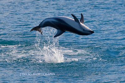 Dusky dolphin-4237