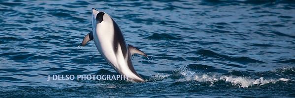 Dusky dolphin-4181