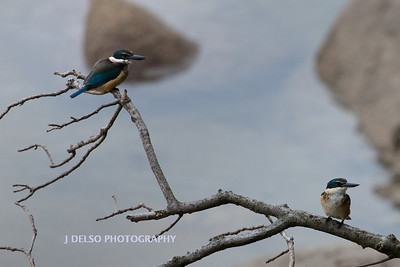 Kotare- Kingfisher-4371