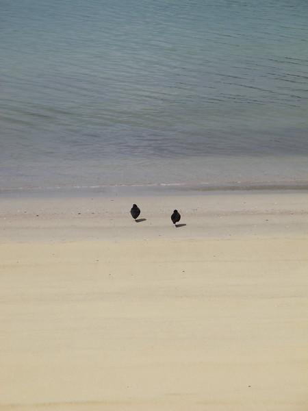 Oyster Catchers - Stewart Island