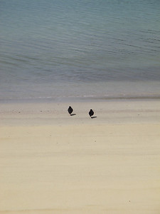 Oyster Catchers - Stewart Island