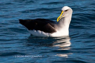 Buller's mollymawk (Albatross)-4257