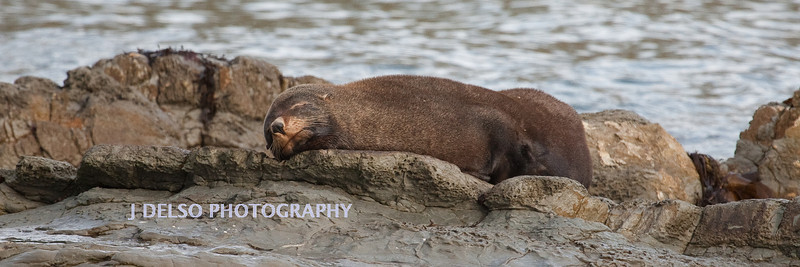New Zealand Fur Seal-4021