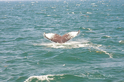 Humpback Whale diving, off the coast of Gaspé-Percé