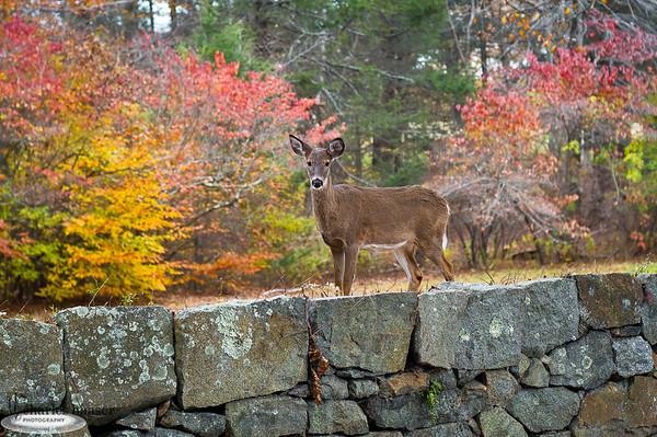 """""""Maudslay Deer"""" Maudslay State Park Newburyport, Massachusetts"""