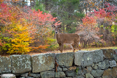 """Maudslay Deer"" Maudslay State Park Newburyport, Massachusetts"