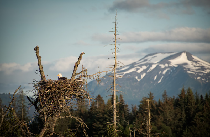wild bald eagle in Alaska with her feathers blowing in the wind
