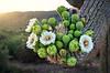 Saguro bouquet