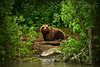 Wild brown bear in Alaska