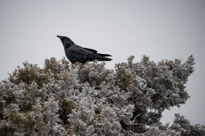 Raven in Winter
