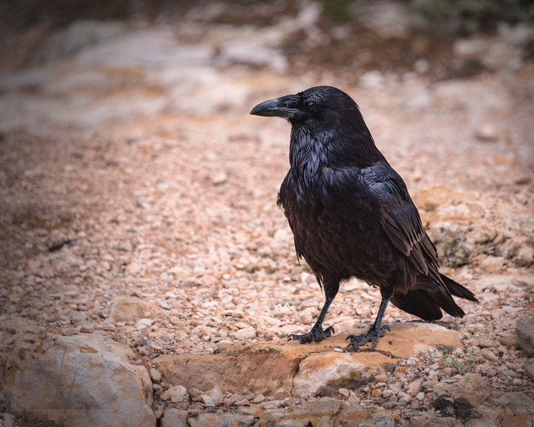 Raven, a portrait
