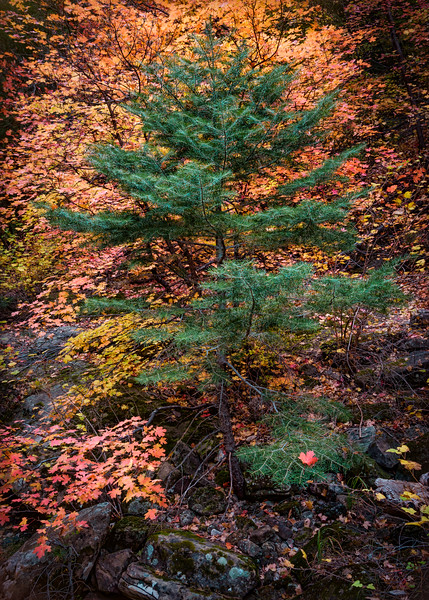 Colorful Pine