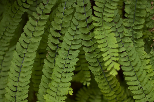 Five-finger ferns in Fern Canyon.