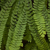 Five-finger ferns in Fern Canyon.