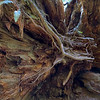 Up to 300 ft tall, yet the roots only go about 10 ft deep.
