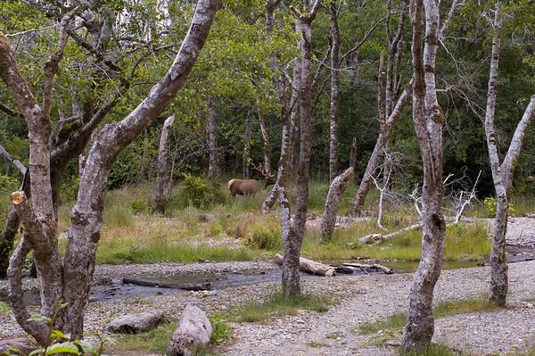 Roosevelt Elk.