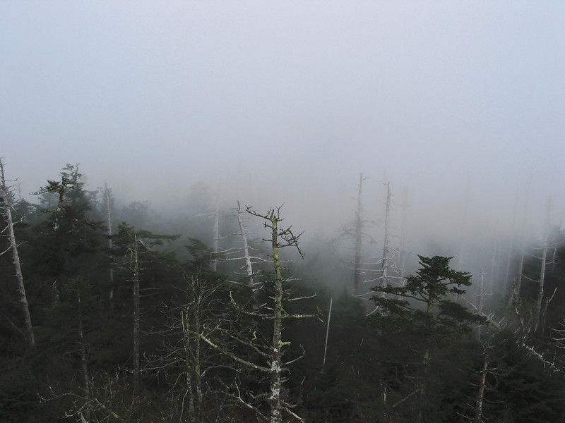 The dying hemlocks atop Clingman's Dome, NC