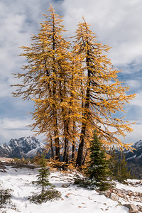 Larches, Cutthroat Pass