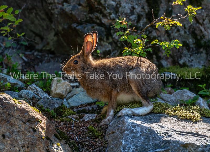 31.  Snowshoe Hare