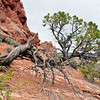 Juniper Tree.