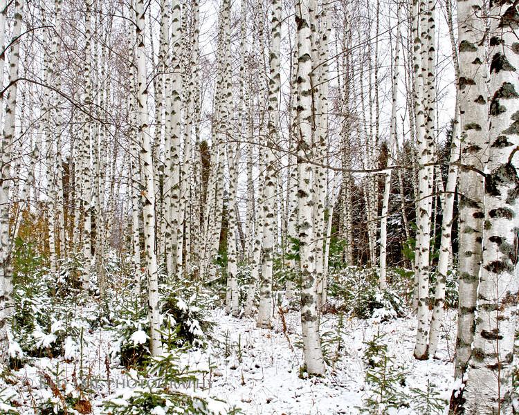 Birches..