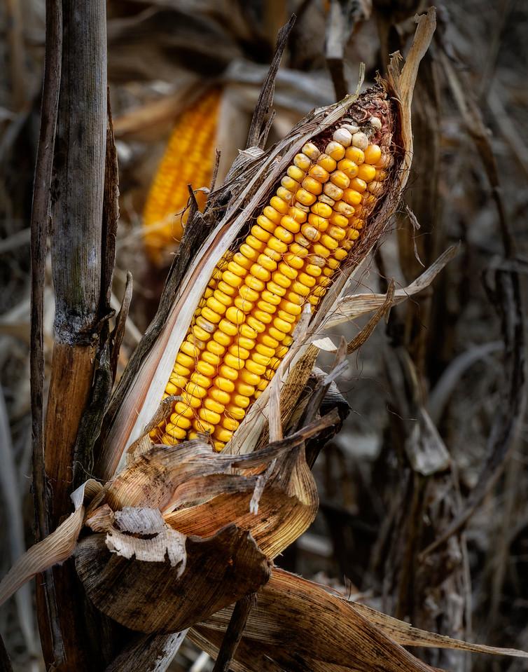 Winter's Corn