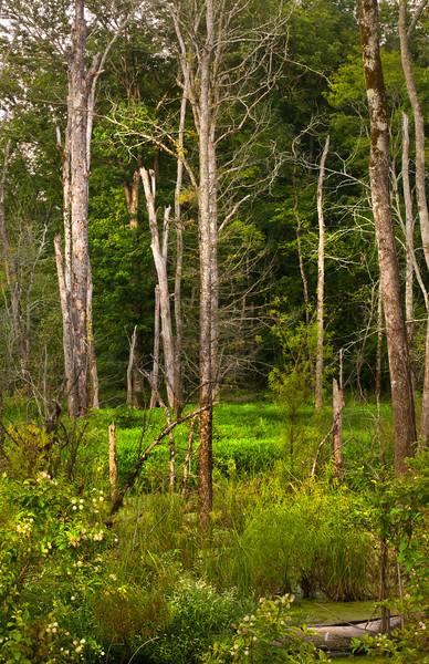 Hard Wood Swamp