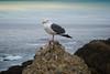 jonathan livingston seagull at Pt Lobos