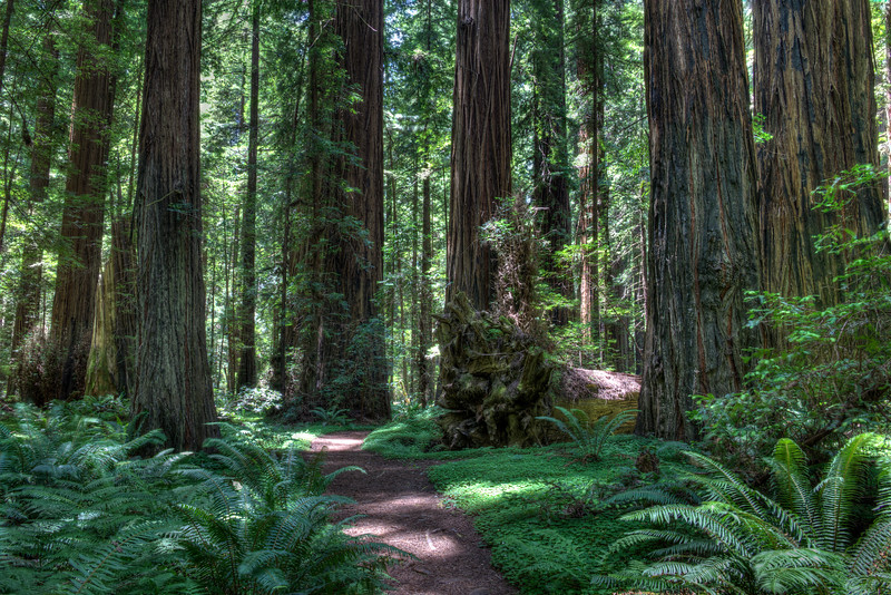 Mahan Plaque Trail Through Old Growth Redwoods - Avenue Of The Giants, CA