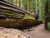 Humbolt Redwoods, California 2008