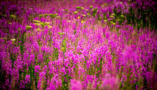 Fields of Fireweed in Alaska