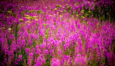 Fields of Fireweed in Alaska