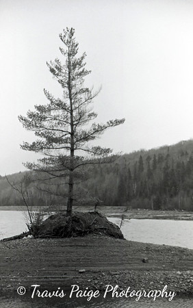 The Tree-Brassua Lake, Maine