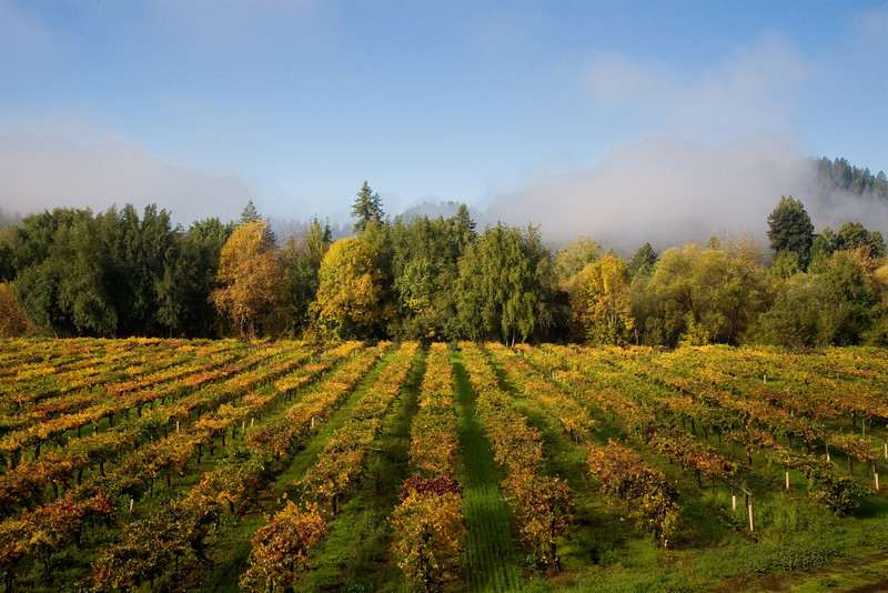 Autumn morning in vineyard