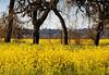 Mustard bloom.