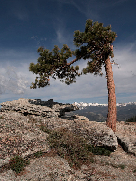 Tree on top of Sentinel Dome