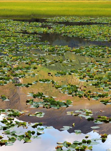 Lily pads near Seward.