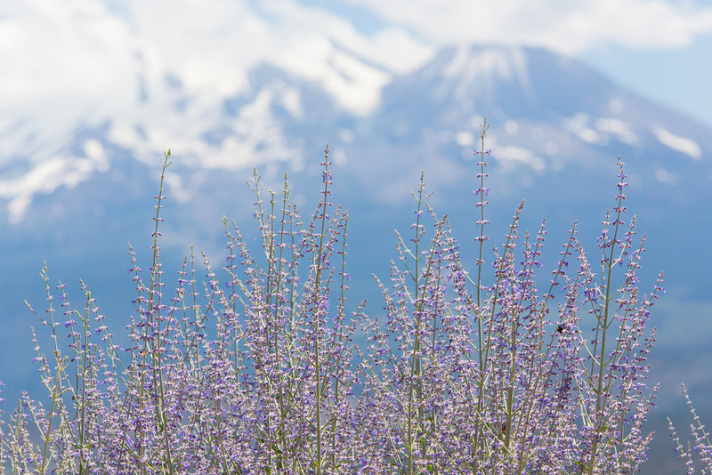 Lavender Mount Shasta and Bees Telephoto