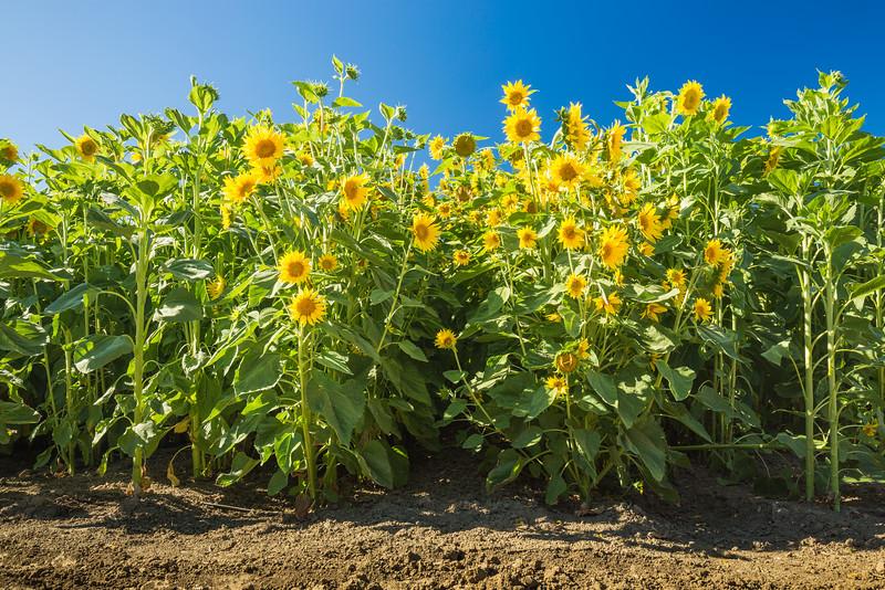 Sunflowers Off I-5