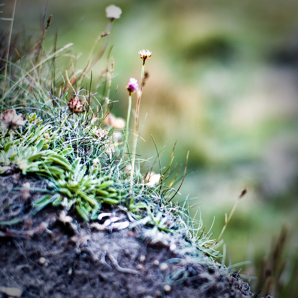 Sea-shore flora, central Northumberland coast, UK