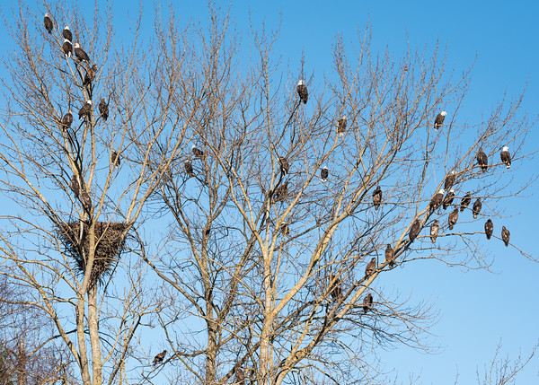 Mass gathering of bald eagles