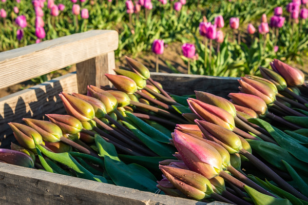 Stacked Tulips