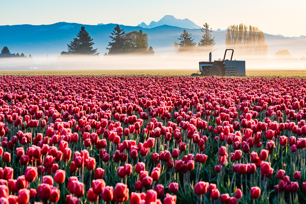 Sunrise over the Skagit Valley tulips