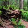Fallen Redwood, Stout Grove, Jedediah Smith Redwoods State Park near Crescent City, CA. 07/2011