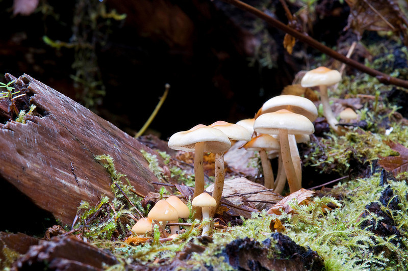 Mushrooms All In A Row, Hoh Rain Forest 10/09.