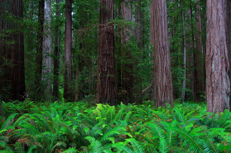 Stout Grove redwoods and ferns, Jedediah Smith Redwoods State Park near Crescent City, CA. 07/2011.