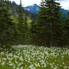 Avalance Lillies, Mount Rainier National Park, WA