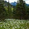 Avalance Lillies, Mount Rainier National Park, WA