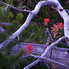 Indian Paintbrush In Old Tree Snag. Deer Park campground. 5,400 ft in Olympic National Park.